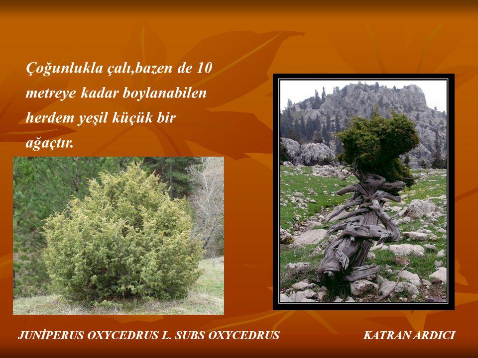 Çoğunlukla çalı,bazen de 10 metreye kadar boylanabilen herdem yeşil küçük bir ağaçtır. JUNİPERUS OXYCEDRUS L. SUBS OXYCEDRUS KATRAN ARDICI