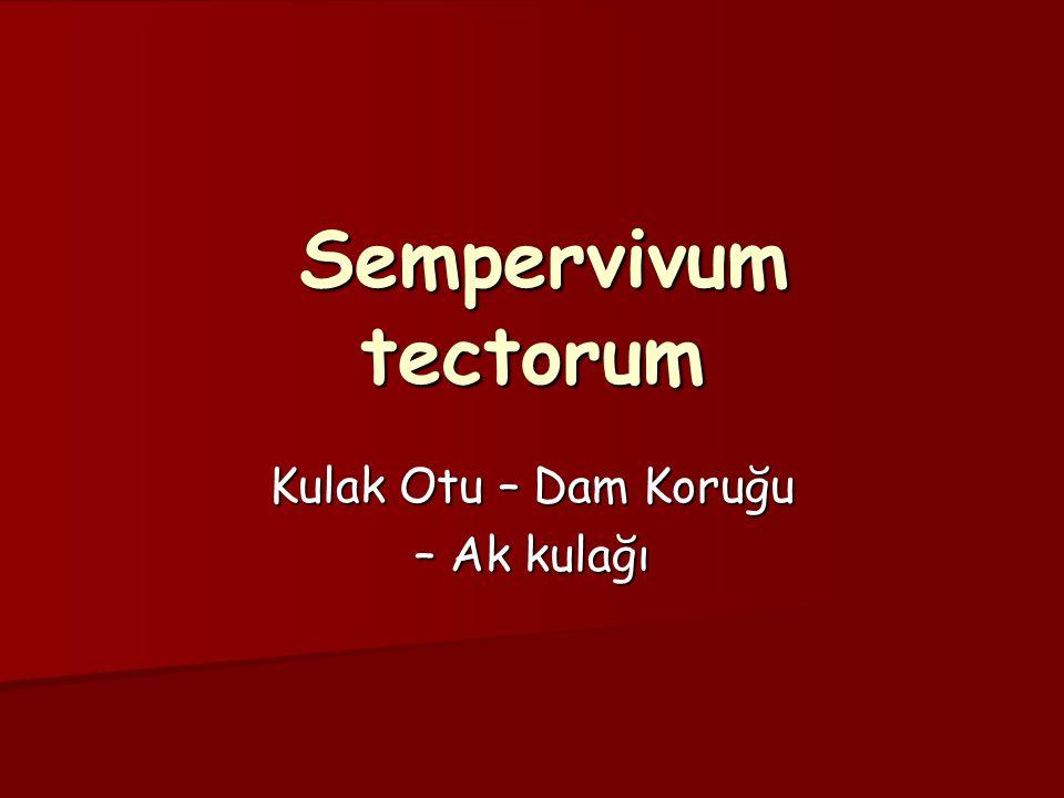 Sempervivum tectorum Sempervivum tectorum Kulak Otu – Dam Koruğu – Ak kulağı