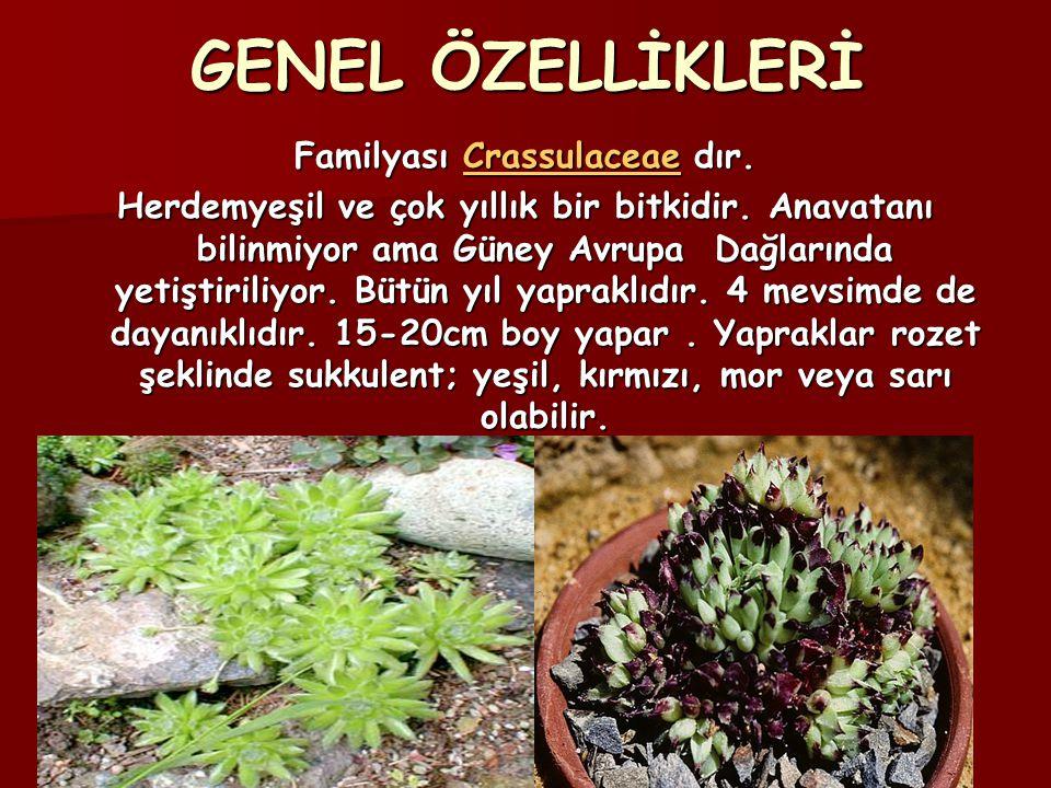GENEL ÖZELLİKLERİ Familyası Crassulaceae dır. Crassulaceae Herdemyeşil ve çok yıllık bir bitkidir. Anavatanı bilinmiyor ama Güney Avrupa Dağlarında ye