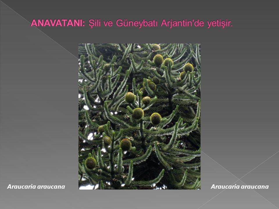 Araucaria araucana Araucaria araucana