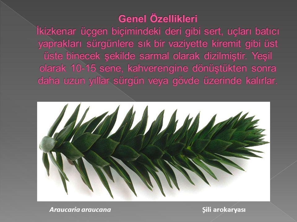 Araucaria araucana Şili arokaryası