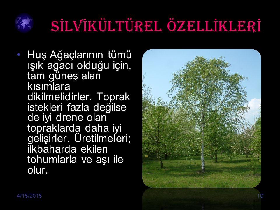 S İ LV İ KÜLTÜREL ÖZELL İ KLER İ Huş Ağaçlarının tümü ışık ağacı olduğu için, tam güneş alan kısımlara dikilmelidirler.