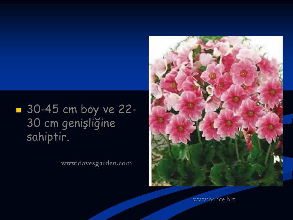 30-45 cm boy ve 22- 30 cm genişliğine sahiptir. 30-45 cm boy ve 22- 30 cm genişliğine sahiptir. www.bahce.biz www.davesgarden.com