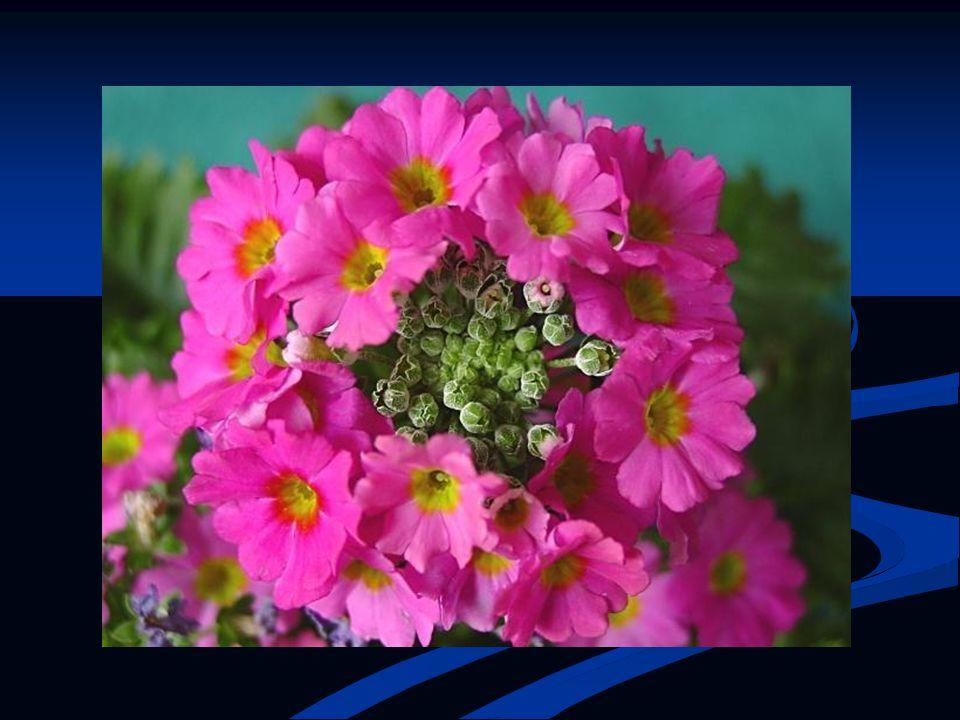 TASARIM ÖZELLİKLERİ: Çiçeklerinin rengi, formu ile dikkat çeker.