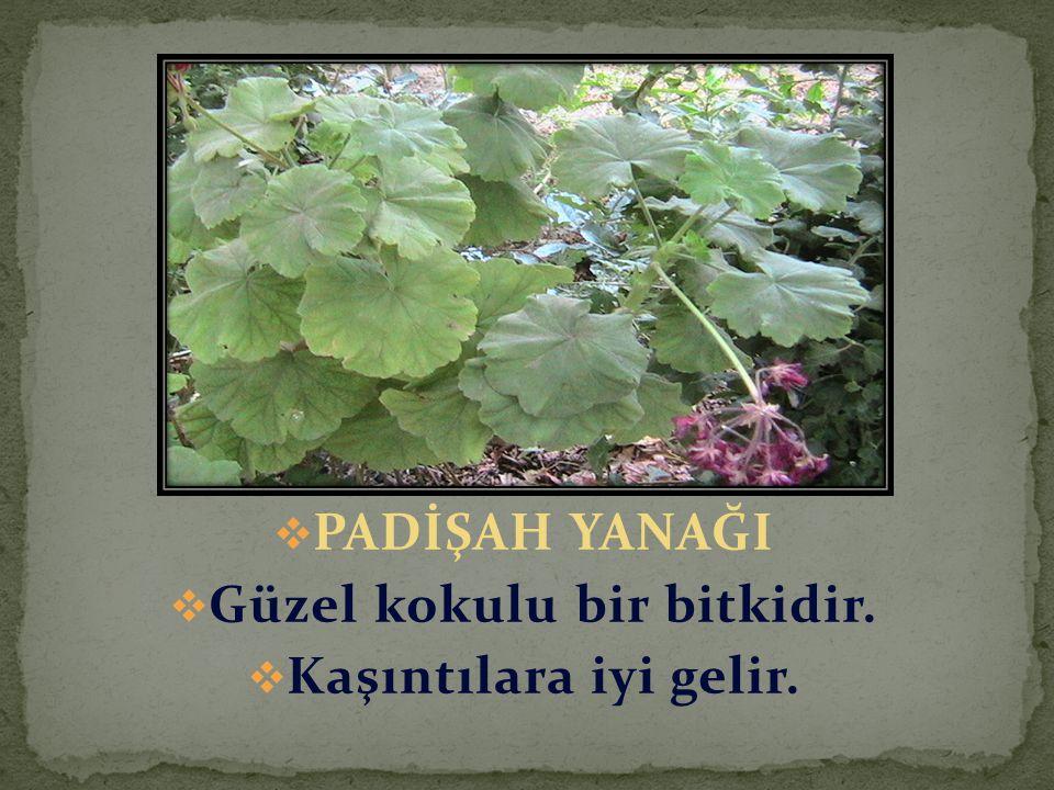  PADİŞAH YANAĞI  Güzel kokulu bir bitkidir.  Kaşıntılara iyi gelir.