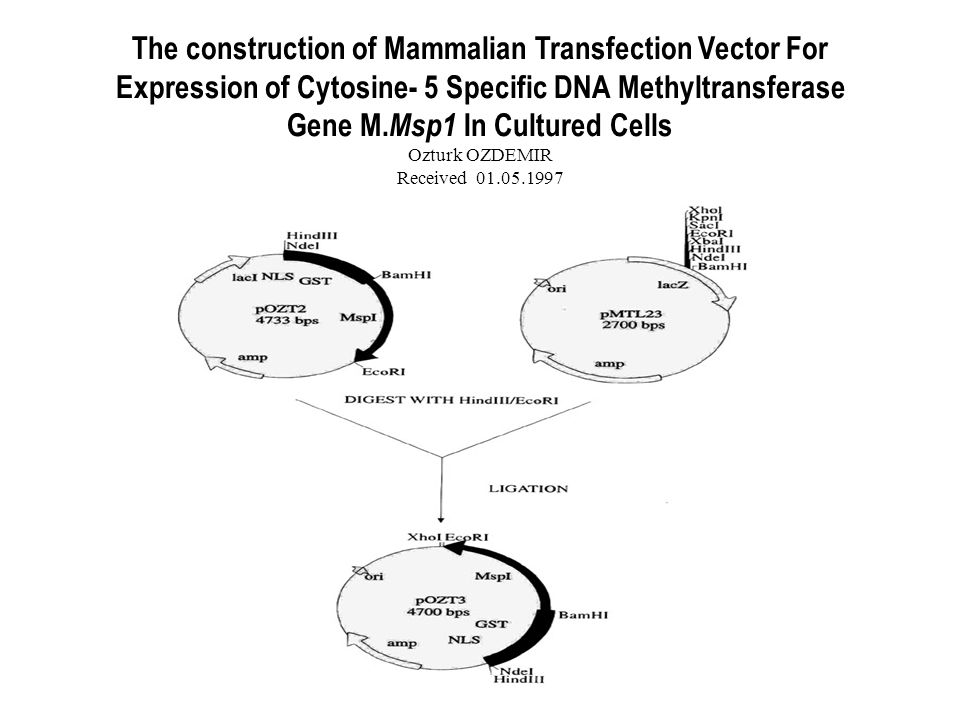 The construction of Mammalian Transfection Vector For Expression of Cytosine- 5 Specific DNA Methyltransferase Gene M.