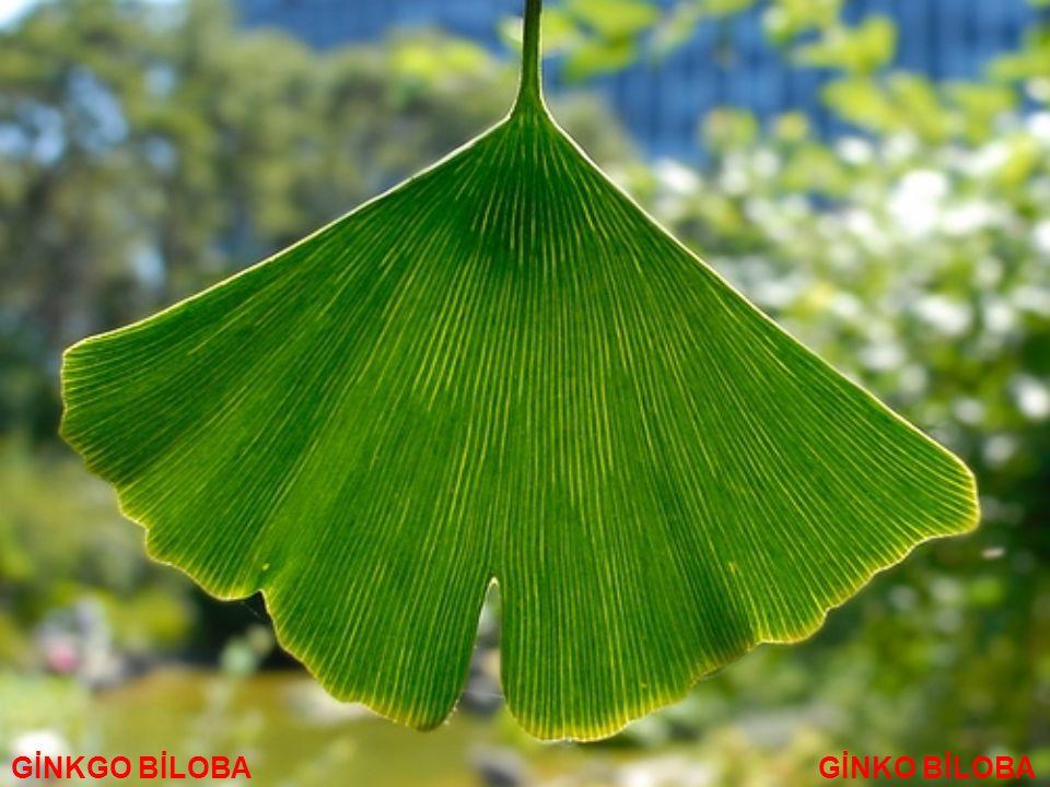 Kışın yapraklarını döken önceleri piramidal, ileri yaşlarda dağınık tepeli bir ağaçtır.
