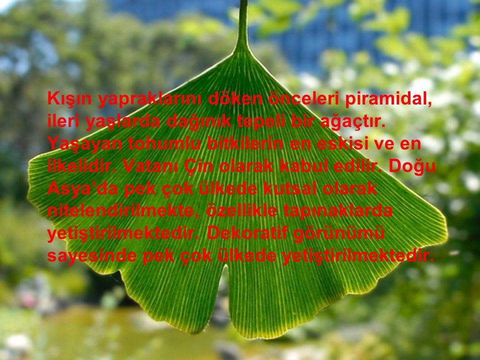 Kışın yapraklarını döken önceleri piramidal, ileri yaşlarda dağınık tepeli bir ağaçtır. Yaşayan tohumlu bitkilerin en eskisi ve en ilkelidir. Vatanı Ç