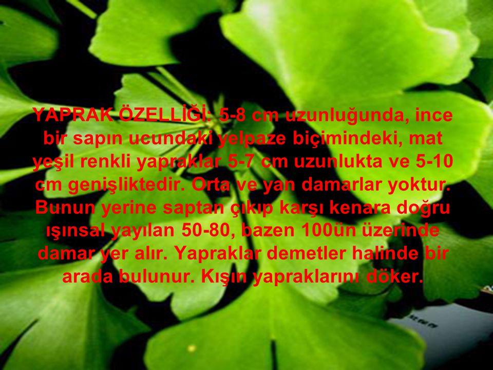 YAPRAK ÖZELLİĞİ: 5-8 cm uzunluğunda, ince bir sapın ucundaki yelpaze biçimindeki, mat yeşil renkli yapraklar 5-7 cm uzunlukta ve 5-10 cm genişliktedir