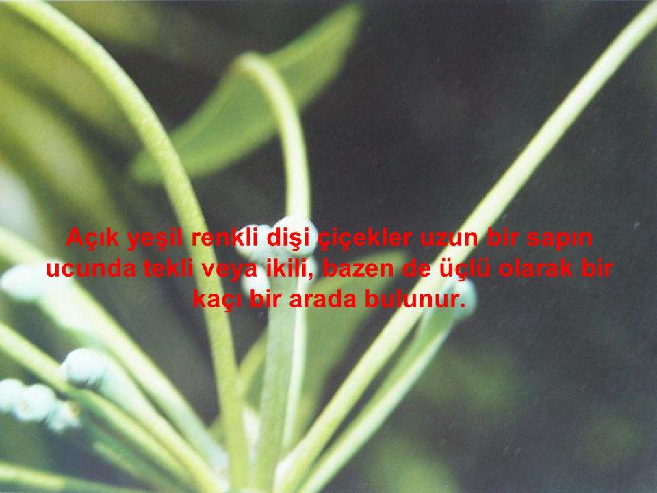 Açık yeşil renkli dişi çiçekler uzun bir sapın ucunda tekli veya ikili, bazen de üçlü olarak bir kaçı bir arada bulunur.