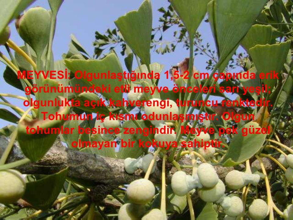 MEYVESİ: Olgunlaştığında 1,5-2 cm çapında erik görünümündeki etli meyve önceleri sarı yeşil; olgunlukta açık kahverengi, turuncu renktedir. Tohumun iç