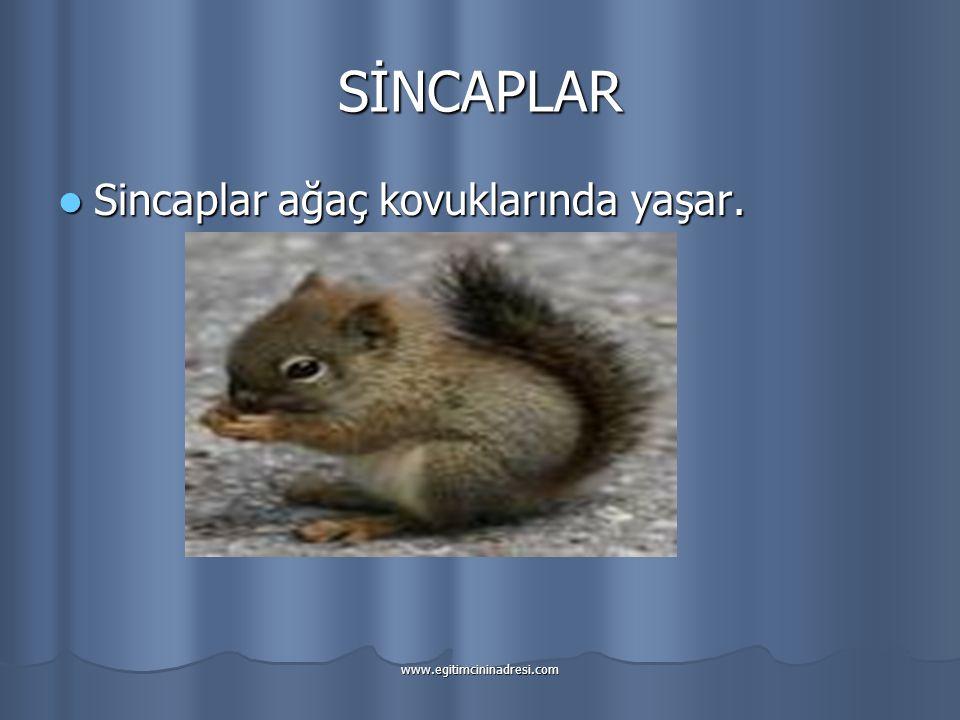 SİNCAPLAR Sincaplar ağaç kovuklarında yaşar.