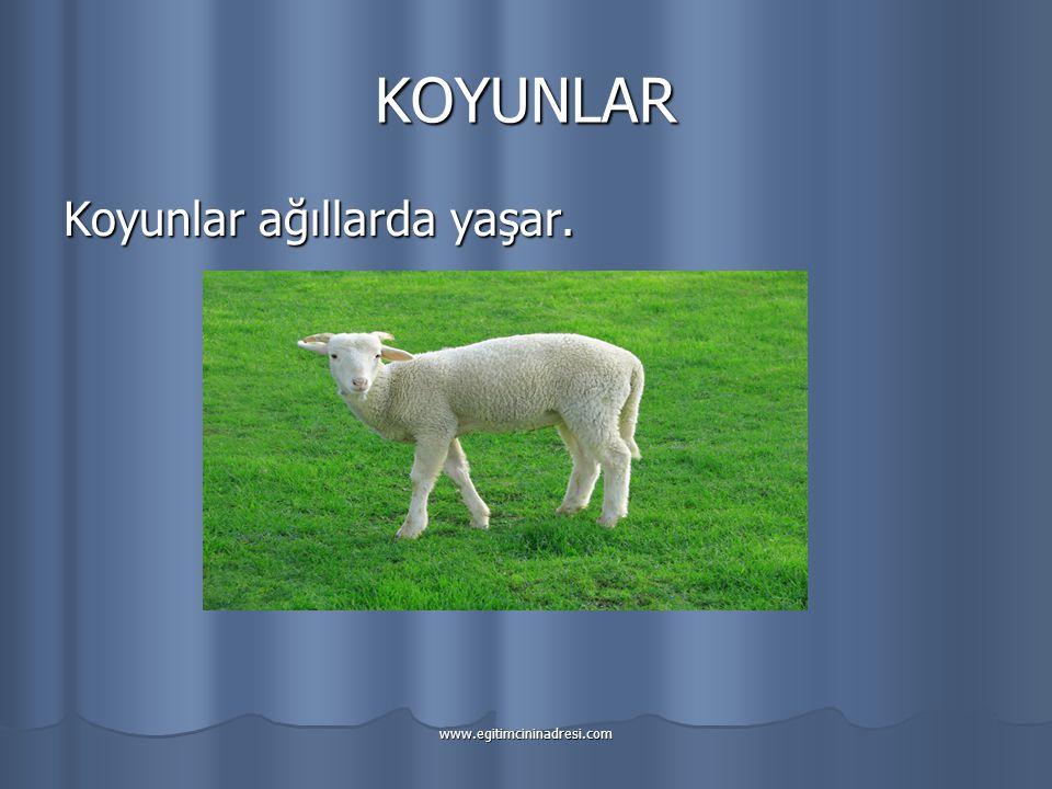 KOYUNLAR Koyunlar ağıllarda yaşar.