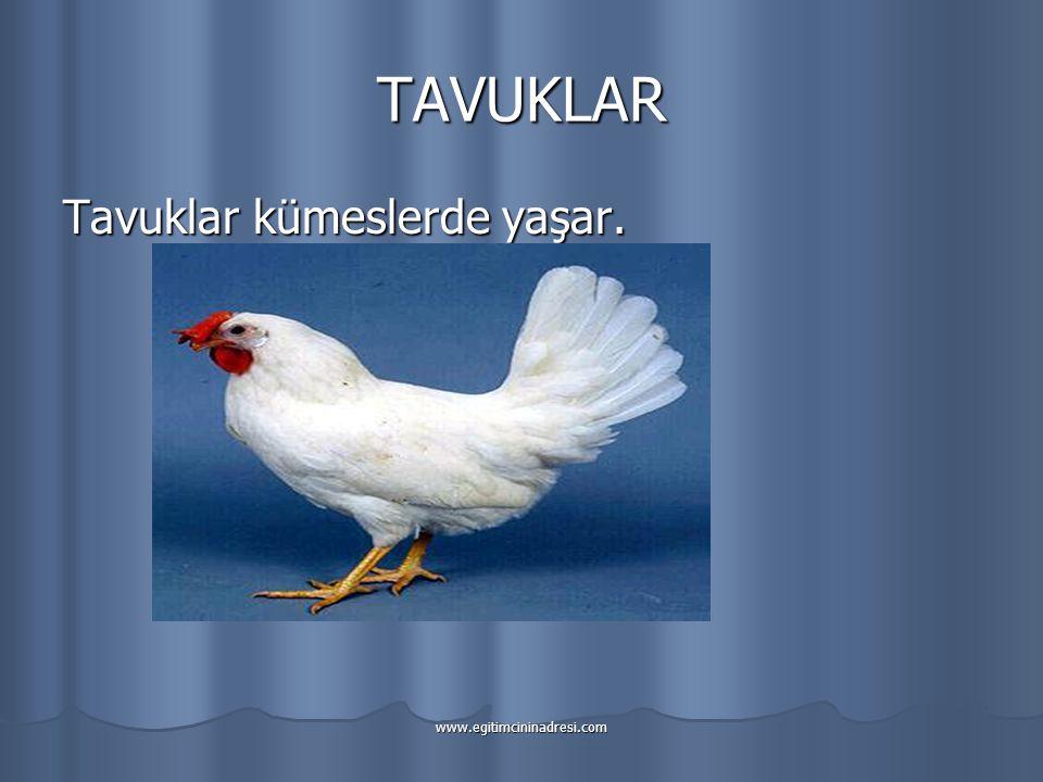 TAVUKLAR Tavuklar kümeslerde yaşar.