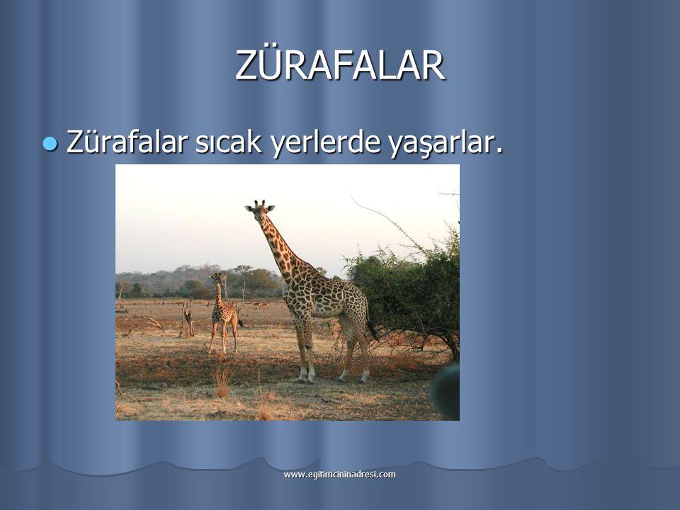 ZÜRAFALAR Zürafalar sıcak yerlerde yaşarlar.