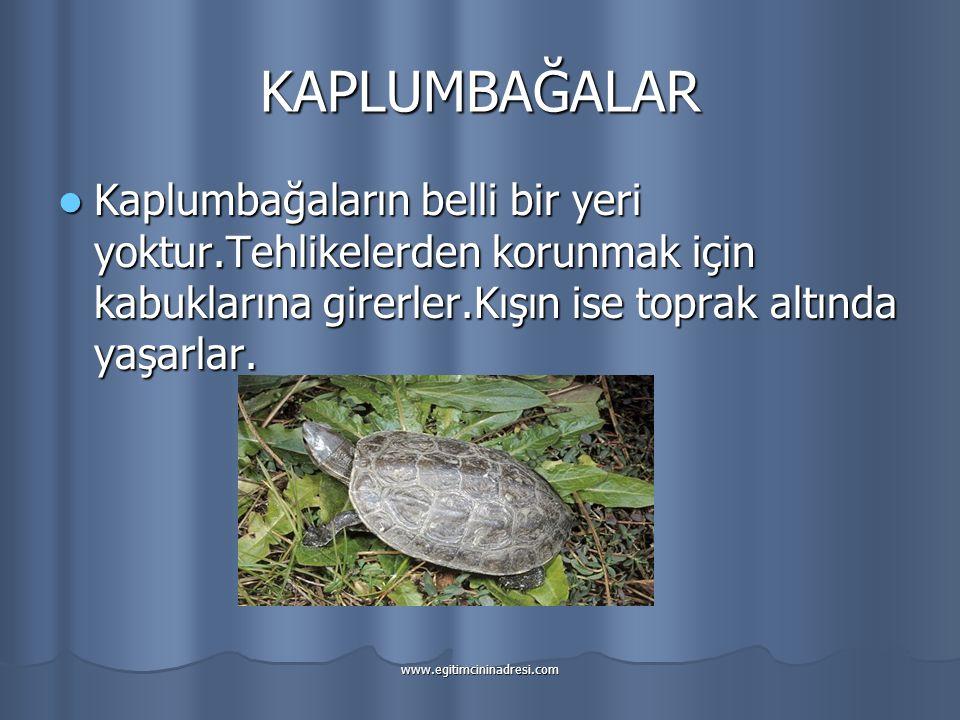 KAPLUMBAĞALAR Kaplumbağaların belli bir yeri yoktur.Tehlikelerden korunmak için kabuklarına girerler.Kışın ise toprak altında yaşarlar. Kaplumbağaları