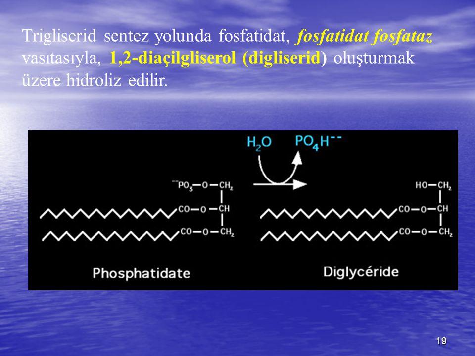 19 Trigliserid sentez yolunda fosfatidat, fosfatidat fosfataz vasıtasıyla, 1,2-diaçilgliserol (digliserid) oluşturmak üzere hidroliz edilir.