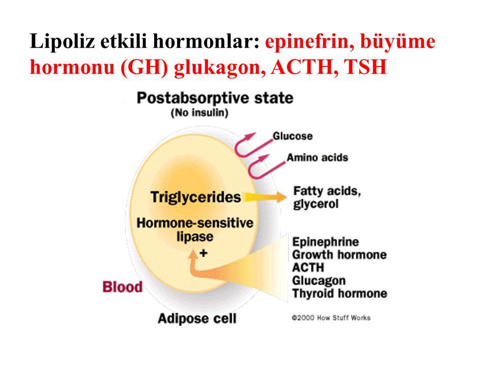 Lipoliz etkili hormonlar: epinefrin, büyüme hormonu (GH) glukagon, ACTH, TSH