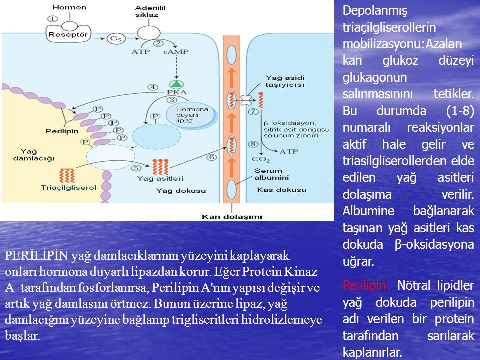 Depolanmış triaçilgliserollerin mobilizasyonu:Azalan kan glukoz düzeyi glukagonun salınmasınını tetikler. Bu durumda (1-8) numaralı reaksiyonlar aktif