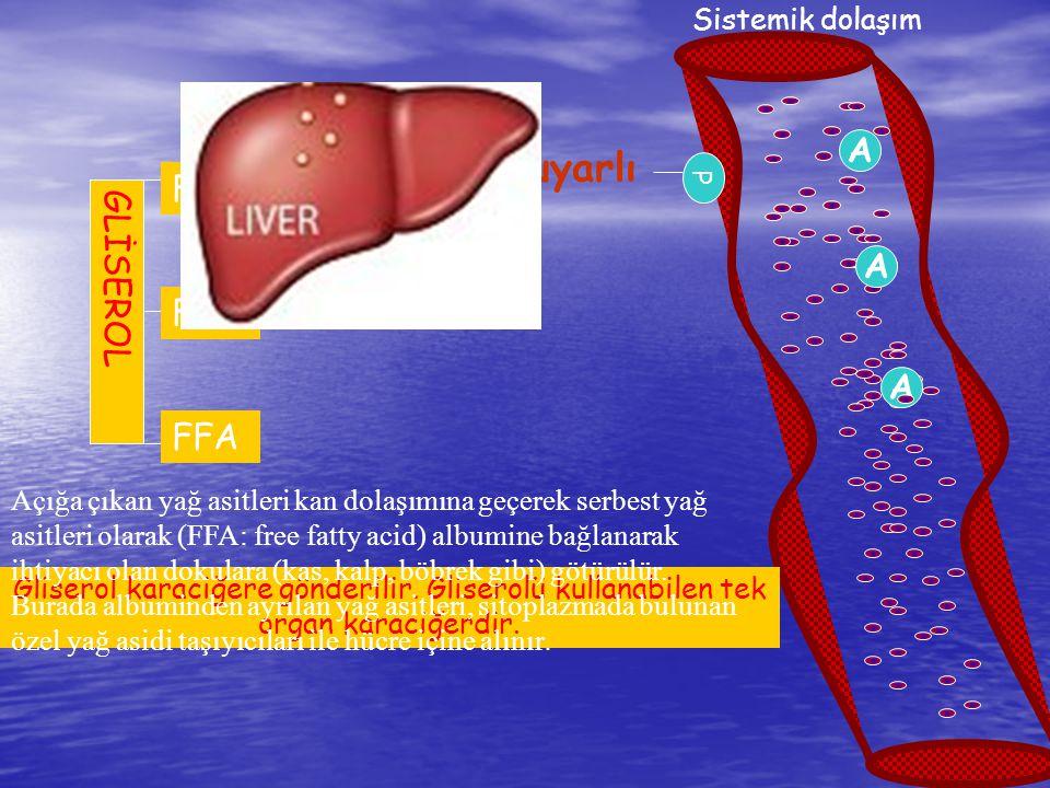 FA Sistemik dolaşım A Hormon duyarlı lipaz P FFA A A Gliserol karaciğere gönderilir. Gliserolü kullanabilen tek organ karaciğerdir. GLİSEROL Açığa çık