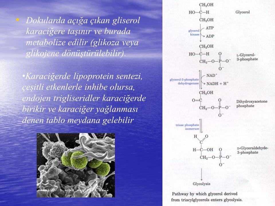 Dokularda açığa çıkan gliserol karaciğere taşınır ve burada metabolize edilir (glikoza veya glikojene dönüştürülebilir). K araciğerde lipoprotein sent