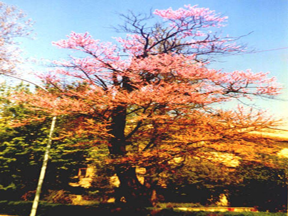 YAPRAKLAR; YAPRAKLAR;  Kı ş ın dökülen yaprakları yürek biçimli, 5-10 cm.