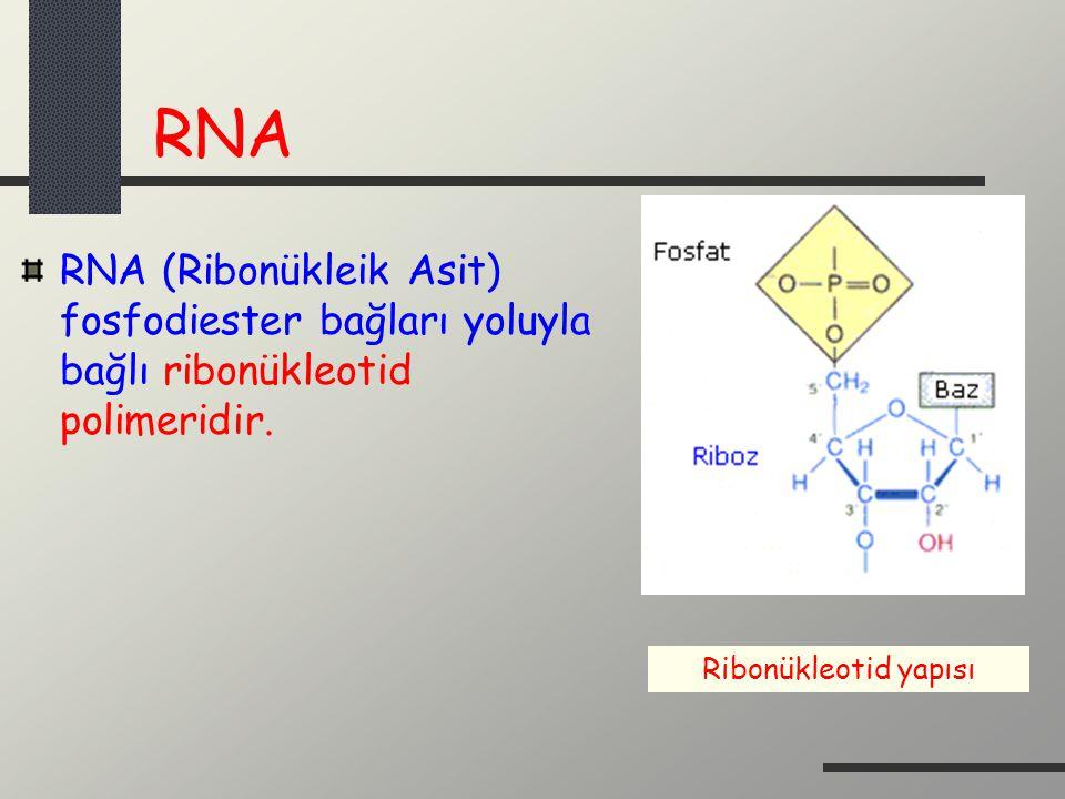RNA RNA (Ribonükleik Asit) fosfodiester bağları yoluyla bağlı ribonükleotid polimeridir. Ribonükleotid yapısı