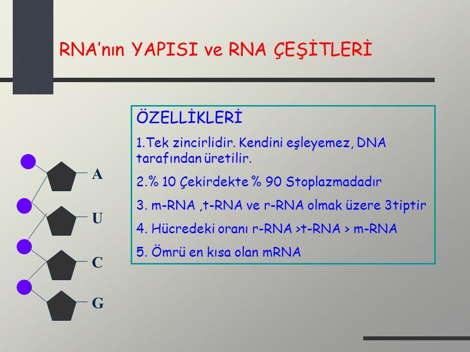 RNA'nın YAPISI ve RNA ÇEŞİTLERİ A U G C ÖZELLİKLERİ 1.Tek zincirlidir. Kendini eşleyemez, DNA tarafından üretilir. 2.% 10 Çekirdekte % 90 Stoplazmadad