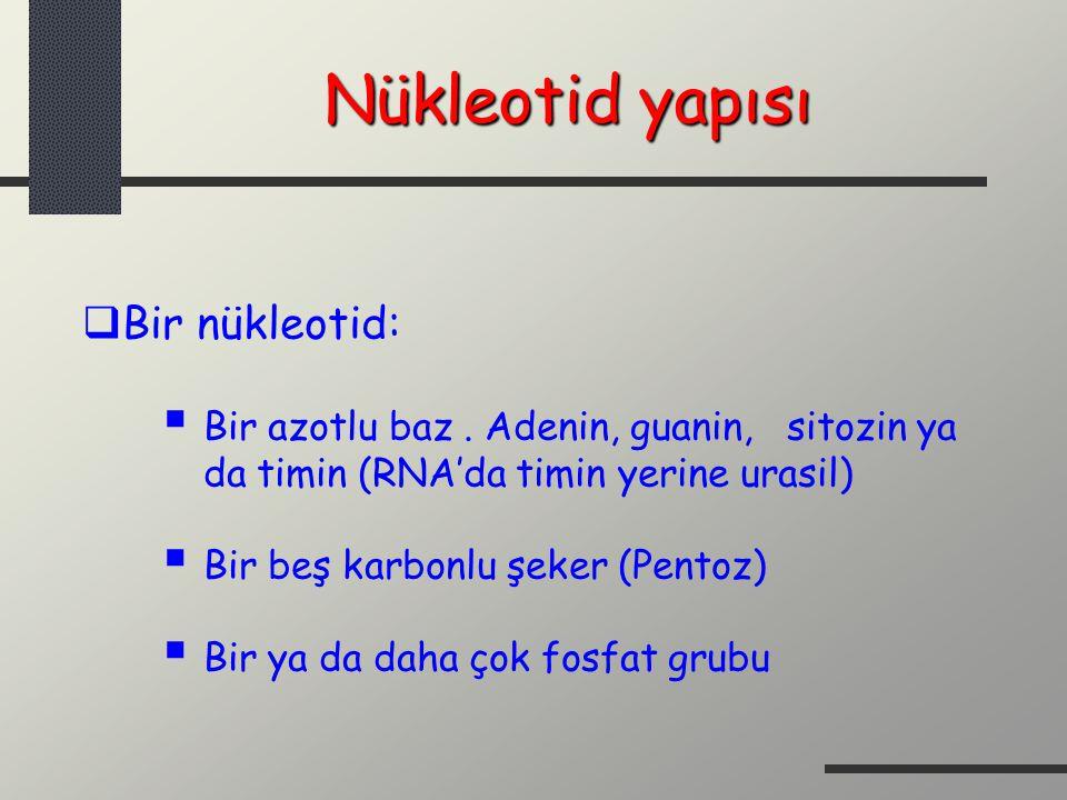 Nükleotid yapısı  Bir nükleotid:  Bir azotlu baz. Adenin, guanin, sitozin ya da timin (RNA'da timin yerine urasil)  Bir beş karbonlu şeker (Pentoz)