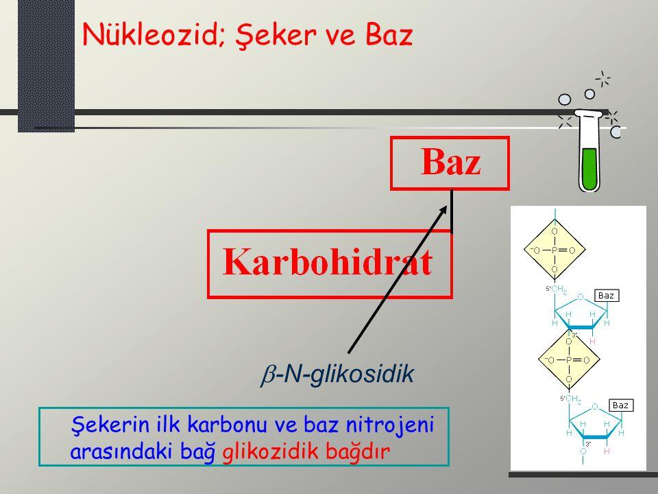  -N-glikosidik Nükleozid; Şeker ve Baz Şekerin ilk karbonu ve baz nitrojeni arasındaki bağ glikozidik bağdır