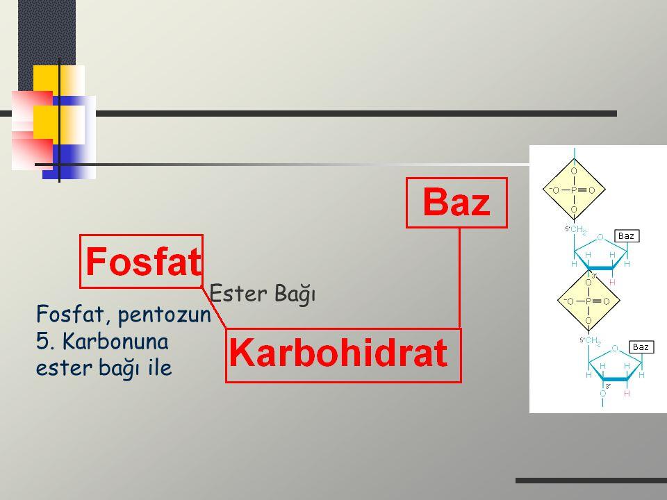 Fosfat, pentozun 5. Karbonuna ester bağı ile Ester Bağı