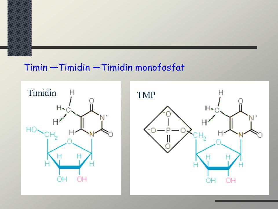 Timin —Timidin —Timidin monofosfat Timidin TMP