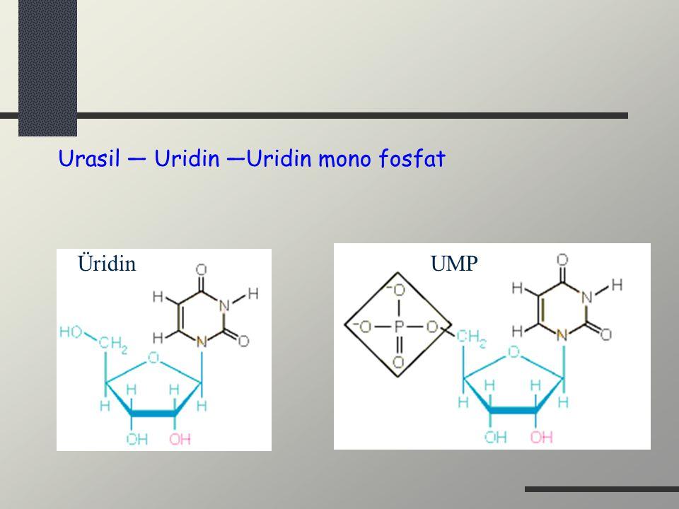 Urasil — Uridin —Uridin mono fosfat ÜridinUMP
