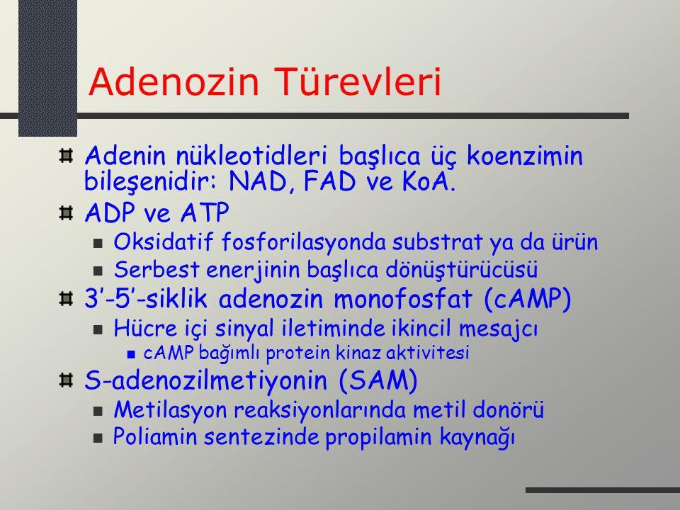 Adenozin Türevleri Adenin nükleotidleri başlıca üç koenzimin bileşenidir: NAD, FAD ve KoA. ADP ve ATP Oksidatif fosforilasyonda substrat ya da ürün Se