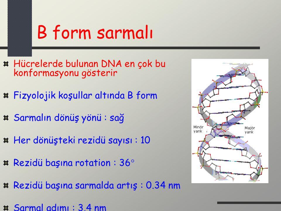 B form sarmalı Hücrelerde bulunan DNA en çok bu konformasyonu gösterir Fizyolojik koşullar altında B form Sarmalın dönüş yönü : sağ Her dönüşteki rezi