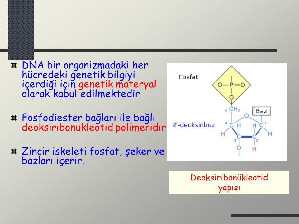 DNA bir organizmadaki her hücredeki genetik bilgiyi içerdiği için genetik materyal olarak kabul edilmektedir Fosfodiester bağları ile bağlı deoksiribo