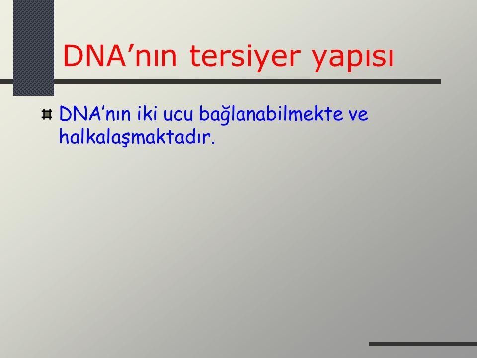 DNA'nın tersiyer yapısı DNA'nın iki ucu bağlanabilmekte ve halkalaşmaktadır.