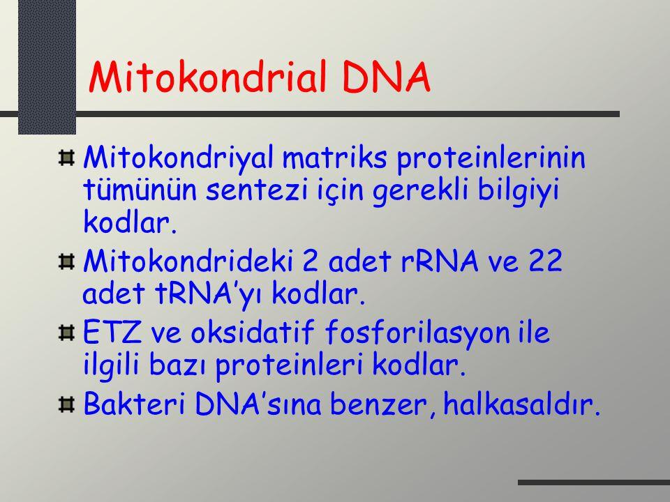 Mitokondrial DNA Mitokondriyal matriks proteinlerinin tümünün sentezi için gerekli bilgiyi kodlar. Mitokondrideki 2 adet rRNA ve 22 adet tRNA'yı kodla