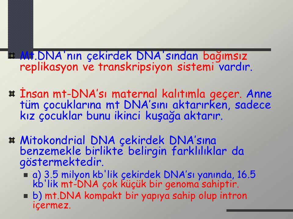 Mt.DNA'nın çekirdek DNA'sından bağımsız replikasyon ve transkripsiyon sistemi vardır. İnsan mt-DNA'sı maternal kalıtımla geçer. Anne tüm çocuklarına m