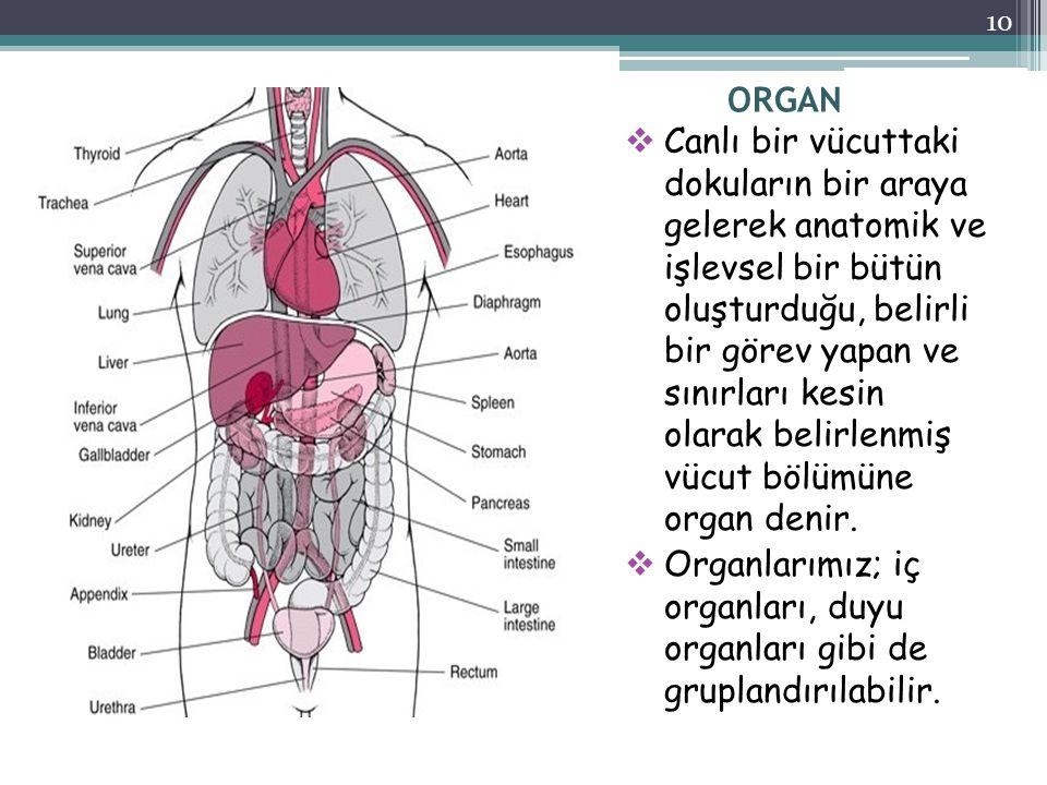 ORGAN  Canlı bir vücuttaki dokuların bir araya gelerek anatomik ve işlevsel bir bütün oluşturduğu, belirli bir görev yapan ve sınırları kesin olarak