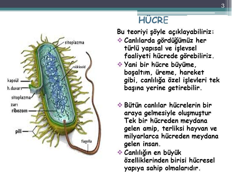 HÜCRE Bu teoriyi şöyle açıklayabiliriz:  Canlılarda gördüğümüz her türlü yapısal ve işlevsel faaliyeti hücrede görebiliriz.  Yani bir hücre büyüme,
