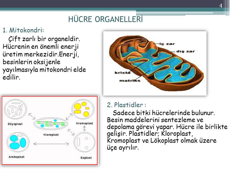 HÜCRE ORGANELLERİ 1. Mitokondri: Çift zarlı bir organeldir. Hücrenin en önemli enerji üretim merkezidir.Enerji, besinlerin oksijenle yayılmasıyla mito