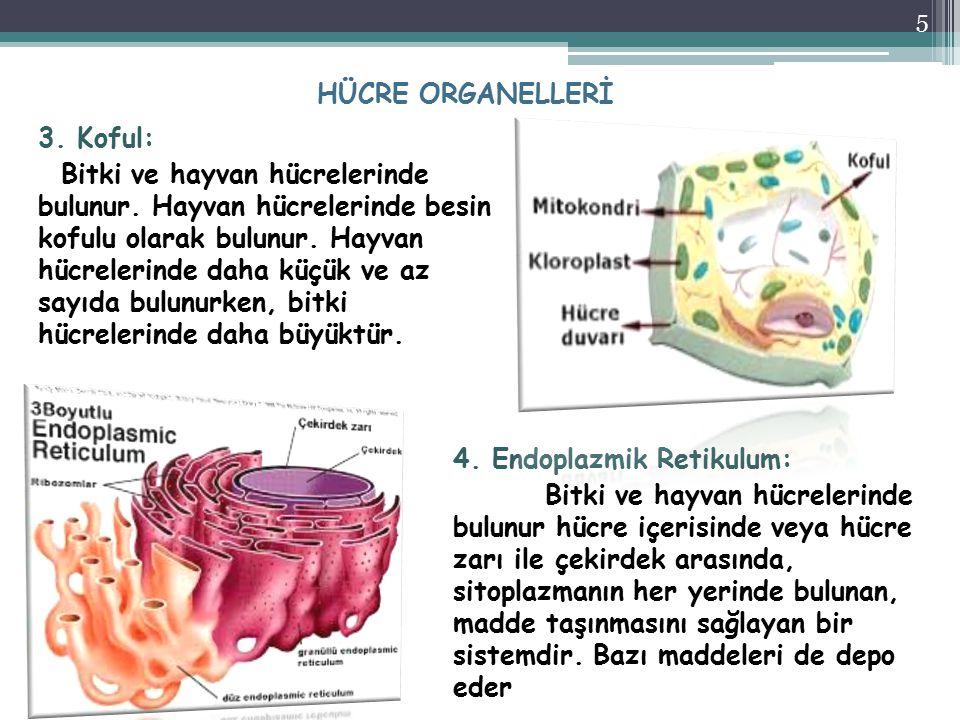 HÜCRE ORGANELLERİ 4. Endoplazmik Retikulum: Bitki ve hayvan hücrelerinde bulunur hücre içerisinde veya hücre zarı ile çekirdek arasında, sitoplazmanın