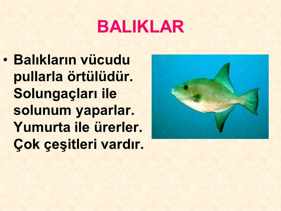 BALIKLAR Balıkların vücudu pullarla örtülüdür. Solungaçları ile solunum yaparlar. Yumurta ile ürerler. Çok çeşitleri vardır.
