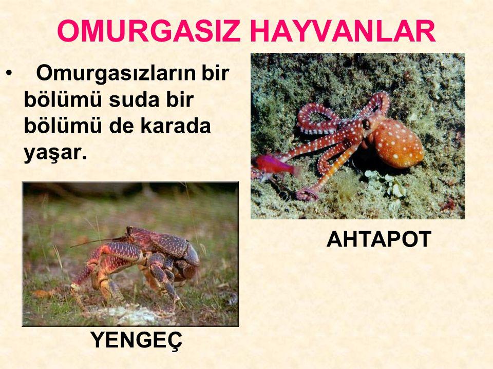 OMURGASIZ HAYVANLAR Omurgasızların bir bölümü suda bir bölümü de karada yaşar. AHTAPOT YENGEÇ
