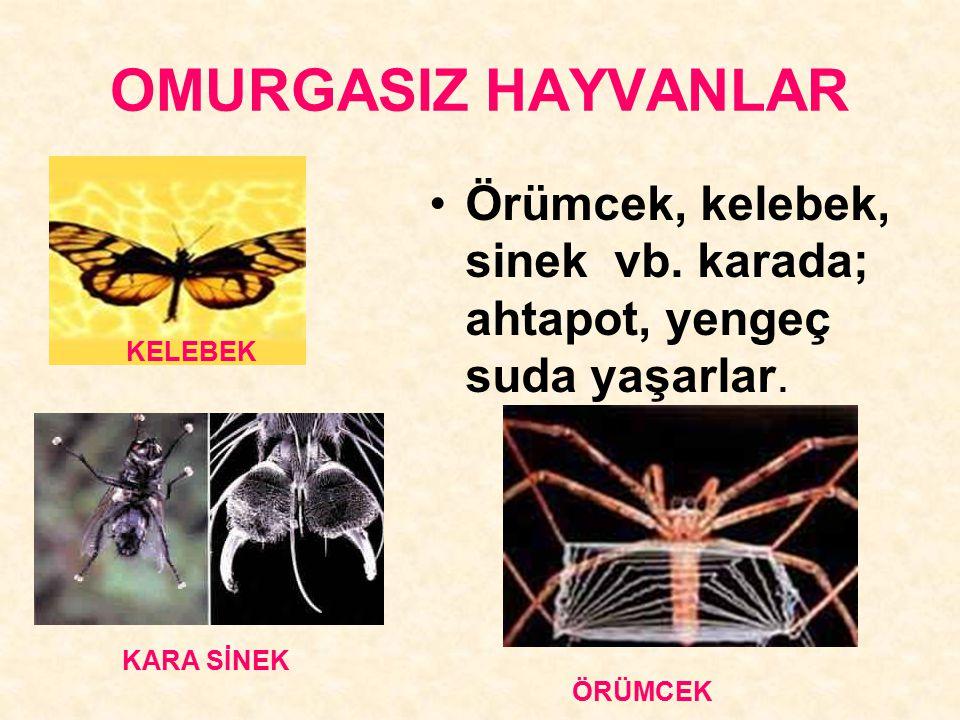 OMURGASIZ HAYVANLAR Örümcek, kelebek, sinek vb. karada; ahtapot, yengeç suda yaşarlar. KELEBEK KARA SİNEK ÖRÜMCEK