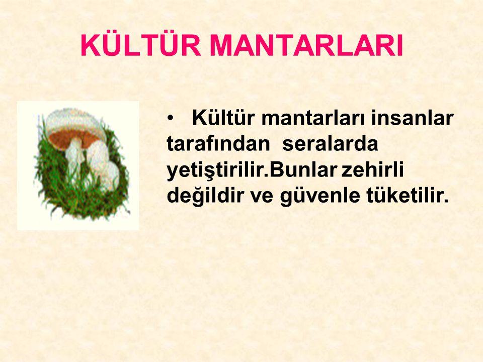 KÜLTÜR MANTARLARI Kültür mantarları insanlar tarafından seralarda yetiştirilir.Bunlar zehirli değildir ve güvenle tüketilir.