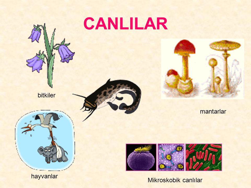 CANLILAR bitkiler hayvanlar Mikroskobik canlılar mantarlar