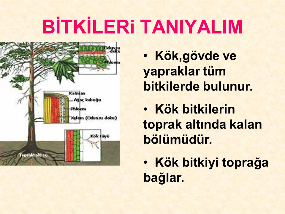 BİTKİLERi TANIYALIM Kök,gövde ve yapraklar tüm bitkilerde bulunur. Kök bitkilerin toprak altında kalan bölümüdür. Kök bitkiyi toprağa bağlar.