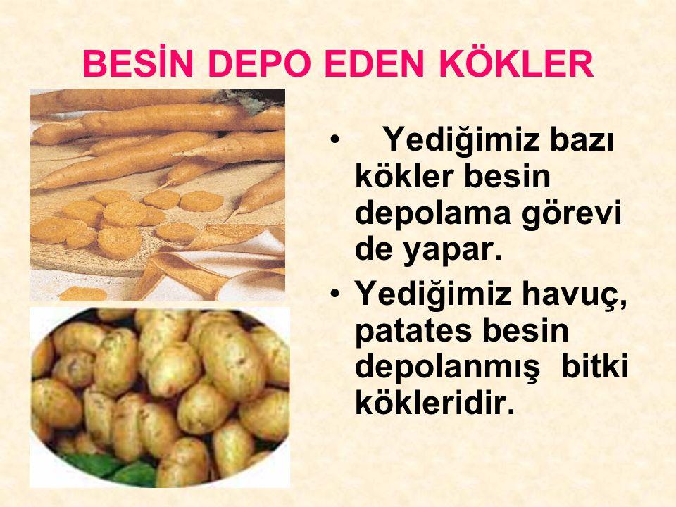 BESİN DEPO EDEN KÖKLER Yediğimiz bazı kökler besin depolama görevi de yapar. Yediğimiz havuç, patates besin depolanmış bitki kökleridir.